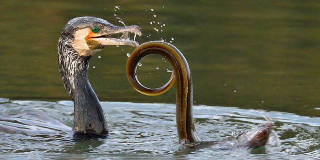 cormorán y anguila