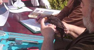 Aprendiendo a anillar aves